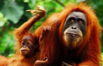 aussehen orang utan